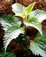 Лекарственные травы для лечения аллергии. Крапива